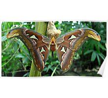 Great Atlas Moth Poster