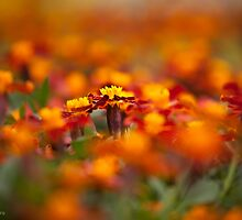 Marigolds for miles by alan shapiro