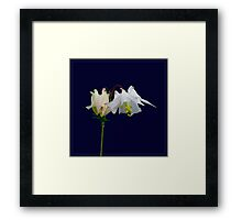 Aquilegia on dark background Framed Print