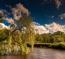 Willow on the Lagan by Neil Carey