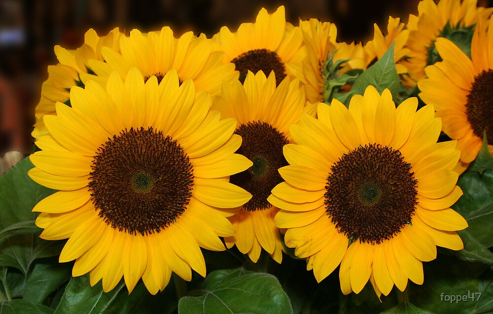 Sunny Sunflowers as Bon Voyage by foppe47
