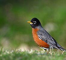 American Robin by Heather Pickard