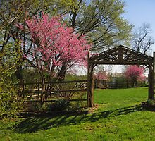 Spring Redbuds in a Little Park by Virginia Shutters