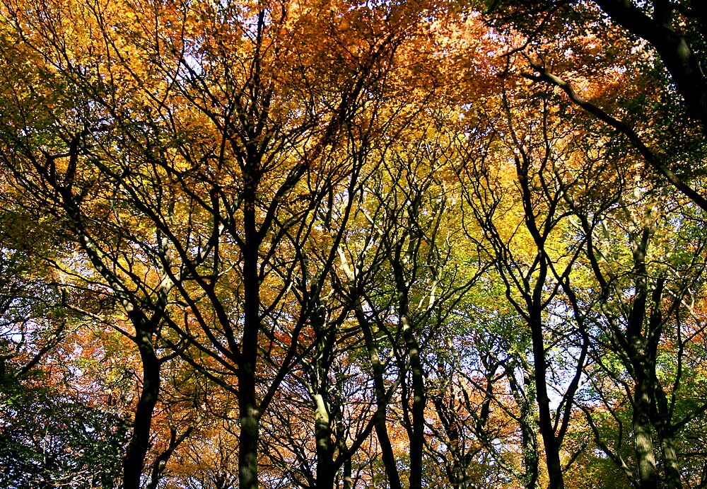 Tree Canopy, Ness Woods. by Ciaran Sidwell