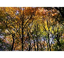 Tree Canopy, Ness Woods. Photographic Print