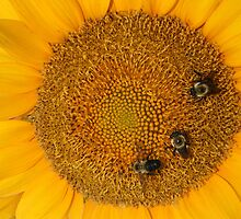3 Bee Sunflower by Carolyn Chentnik