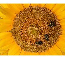 3 Bee Sunflower Photographic Print