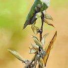 Ruby-Throated Hummingbird Study by Phyllis Beiser