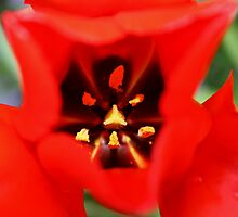 Tulips by Ciaran Sidwell