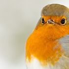 Close-Up of a Robin by Platslee