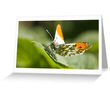 Male orange tip butterfly Greeting Card