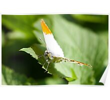 Male orange tip butterfly Poster