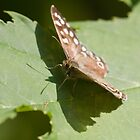 Speckled wood butterfly by theriverrat