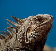 Aruba - Lizards Rule by Simon Hills