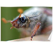 Cockchafer (May bug) Poster