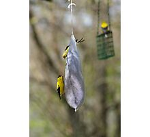 American Gold Finch Photographic Print