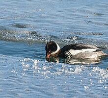Male Red Breasted Merganser in Winter by Gerda Grice