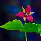 Red Trillium   by Daniel  Parent