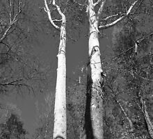 White towering trees by amymac