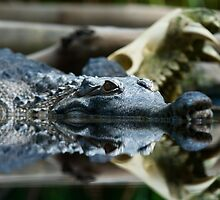 Crocodile on the prowl by Robby Ticknor