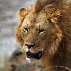 Portrait, Large Male Lion, Maasai Mara, Kenya  by Carole-Anne