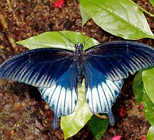 Silvery black, white and blue butterfly by Paula Betz