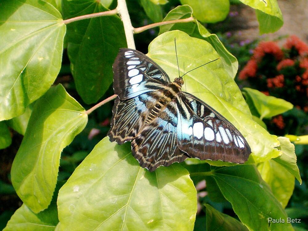 Bluer tones on a Clipper Butterfly by Paula Betz