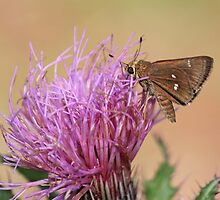 Little Glassywing Skipper by RebeccaBlackman