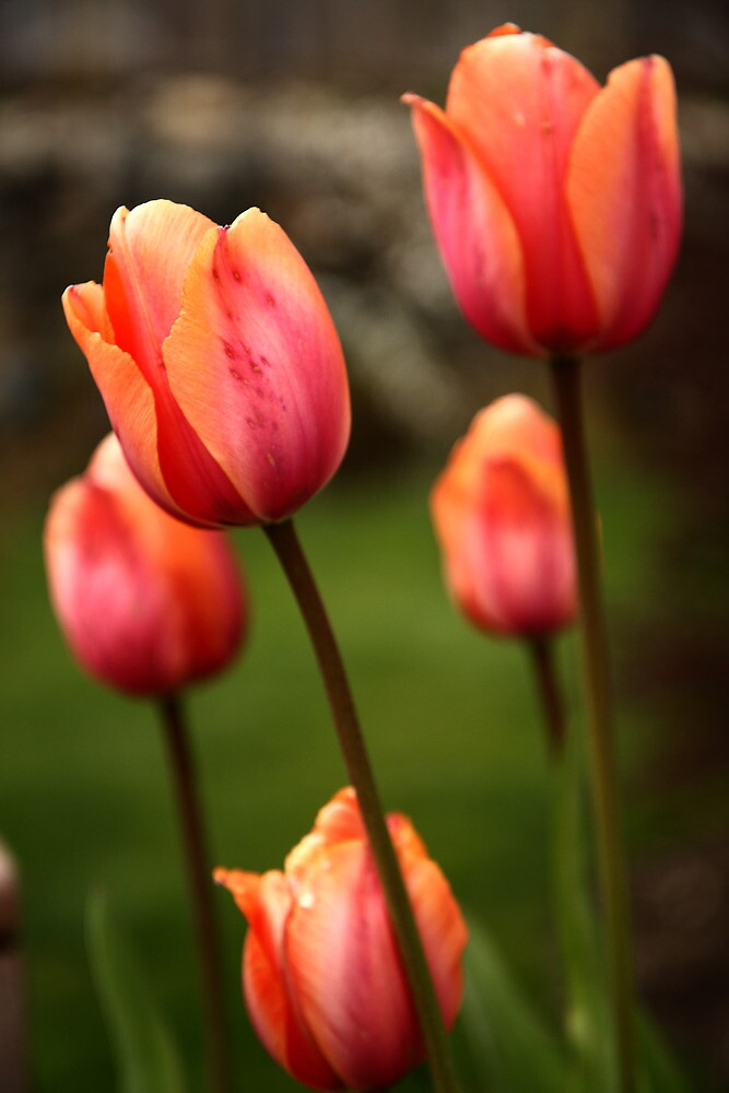 Tulips by James Duffin