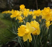 Daffodils by James Duffin