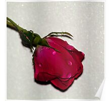 The Single Rose on Pearly White Background Poster