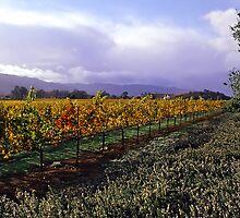 Mumm's Winery  •  Napa, California by Richard  Leon