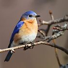 Eastern Bluebird by Rob Lavoie
