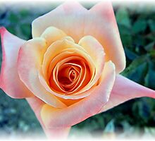 First Rose of The Season by Loree McComb