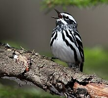 Black And White On Green / Black And White Warbler by Gary Fairhead