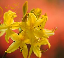 YELLOW AZALEA  by Elaine123