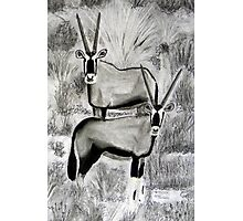 Antelope: Gemsbuck  (Oryx gazella) Photographic Print