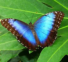 Open Wings Blue Morpho - Morpho peleides by Lepidoptera