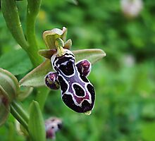 bee orchid by lalik