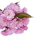 Spring Blossom by Platslee