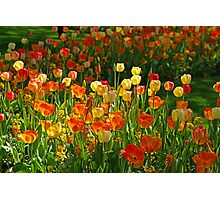 Colours Tulips Photographic Print