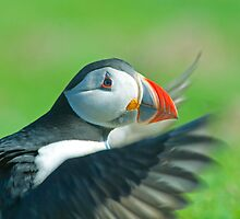 Puffin  by jaffa