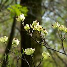 Flowering Dogwood (Cornus florida) by Marcia Rubin