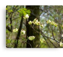 Flowering Dogwood (Cornus florida) Canvas Print
