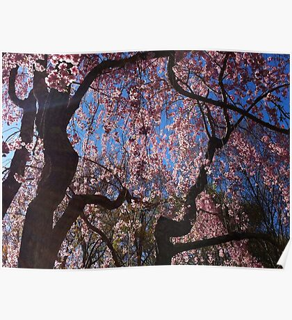 Cherry Willow Swaying In The Wind  Poster