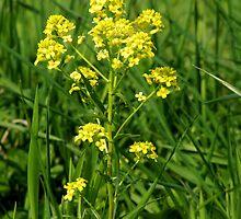 Garden Yellowrocket  by Marcia Rubin