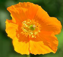 Orange Poppy by Steve
