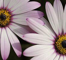 Daisy Daisy by JEZ22