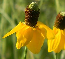 Young and Yellow - Mexican Hat by Navigator