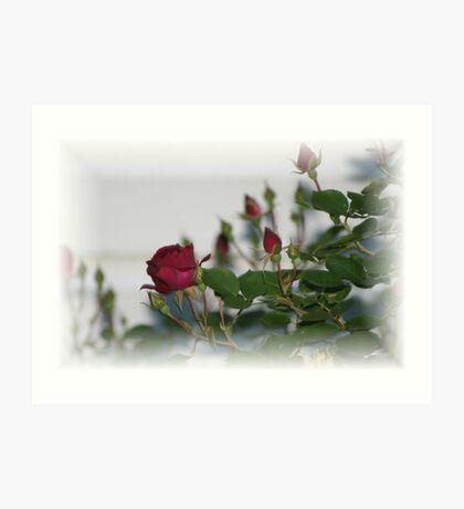 Rose bush blooming Art Print